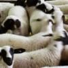 sakız koyunu çiftliği
