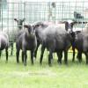 romanov koyunları