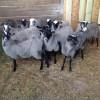 romanov koyunu çiftliği