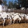 sakız koyunu sürüsü