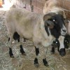 sakız koyunu koç