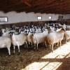 sakız koyunu satılık