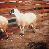 sakız koyunu üretim çiftliği