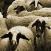 sakız koyunu yetiştiriçiliği