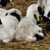 sakız koyunu kuzu