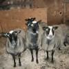 romanov koyun fiyatları 2012