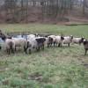 romanov koyunu sürüsü
