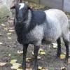 satılık ramanov koyunu