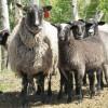 romanov koyun satışı