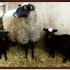 kuzulu romanov koyunu