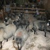romanov koyun yetiştiriçiliği