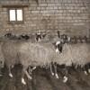 romanov koyun fiyatları