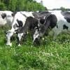 Damızlık Sığır Yetiştiricileri Birlikleri
