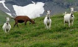 Saanen Süt Keçisi Yetiştiriçiliği