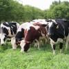 Süt Sığırcılığı İşletmesi Kurmak İçin Ne Yapmalı ?