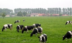 Süt ve Besi Sığırcılığı Yatırımlarında Dikkat Edilmesi Gerekenler