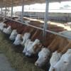 Hayvancılıkta Simental rüzgarı esecek...