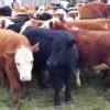 Et ve Süt Kurumu yetiştiricilerin besilik dana ithalatını karşılamak üzere Güney Amerika'dan 72 bin 500 baş besilik dana ithalatı için sözleşme imzaladı.