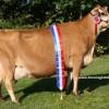 jersey inek satışı