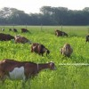keçi merası