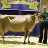 jersey inek satılık