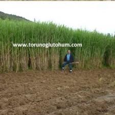 maralfalfa yem bitkisi ziraati