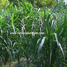 maralfalfa yem bitkisi tarımı