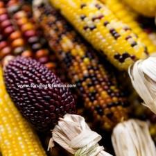 tatlı mısır yetiştiriciliği