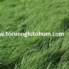 Ot Tipi Teff Grass tarlası 1