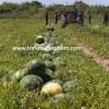 hibrit karpuz tohumu fiyatları