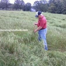 Ot Tipi Teff Grass tarlası 2