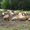 jersey inek sürüsü