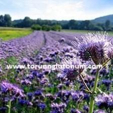 Arı oyu tohum satış fiyatı