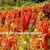 amarant tohum fiyatı