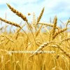 buğday tohumu fiyatı