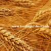 sert buğday çeşitleri