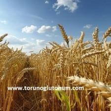 tigem buğday tohumu çeşitleri