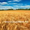 buğday tohumu satın al