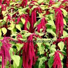 amarant tohumu yetiştiriciliği
