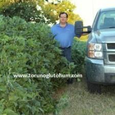 slajlık soya fasulyesi yetiştiriciliği