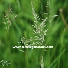 festuca pratensis-çayır yumağı