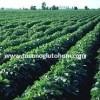 slajlık soya fasulyesi tarlası