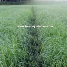 Ot Tipi Teff Grass tohumu fiyatı