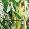 slajlık mısır tohumu çeşitleri