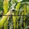 slajlık mısır tohumları