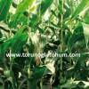 slajlık mısır tohumu satışı
