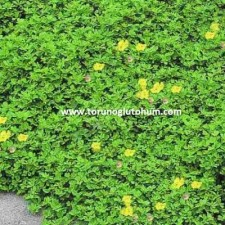 gazal boynuzu yem bitkisi