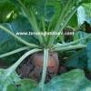 hayvan pancarı yem bitkisi