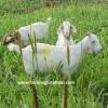millet bitkisinde keçi otlatma