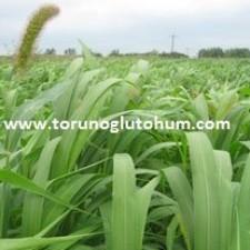 millet yem bitkisi yetiştiriciliği